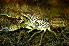 Nieuws: De marmerkreeft is in opmars en vreet kikkers en salamanders