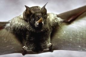 Vleermuis of zwaluw onder je dak? Wijchen start onderzoek naar beschermde dieren